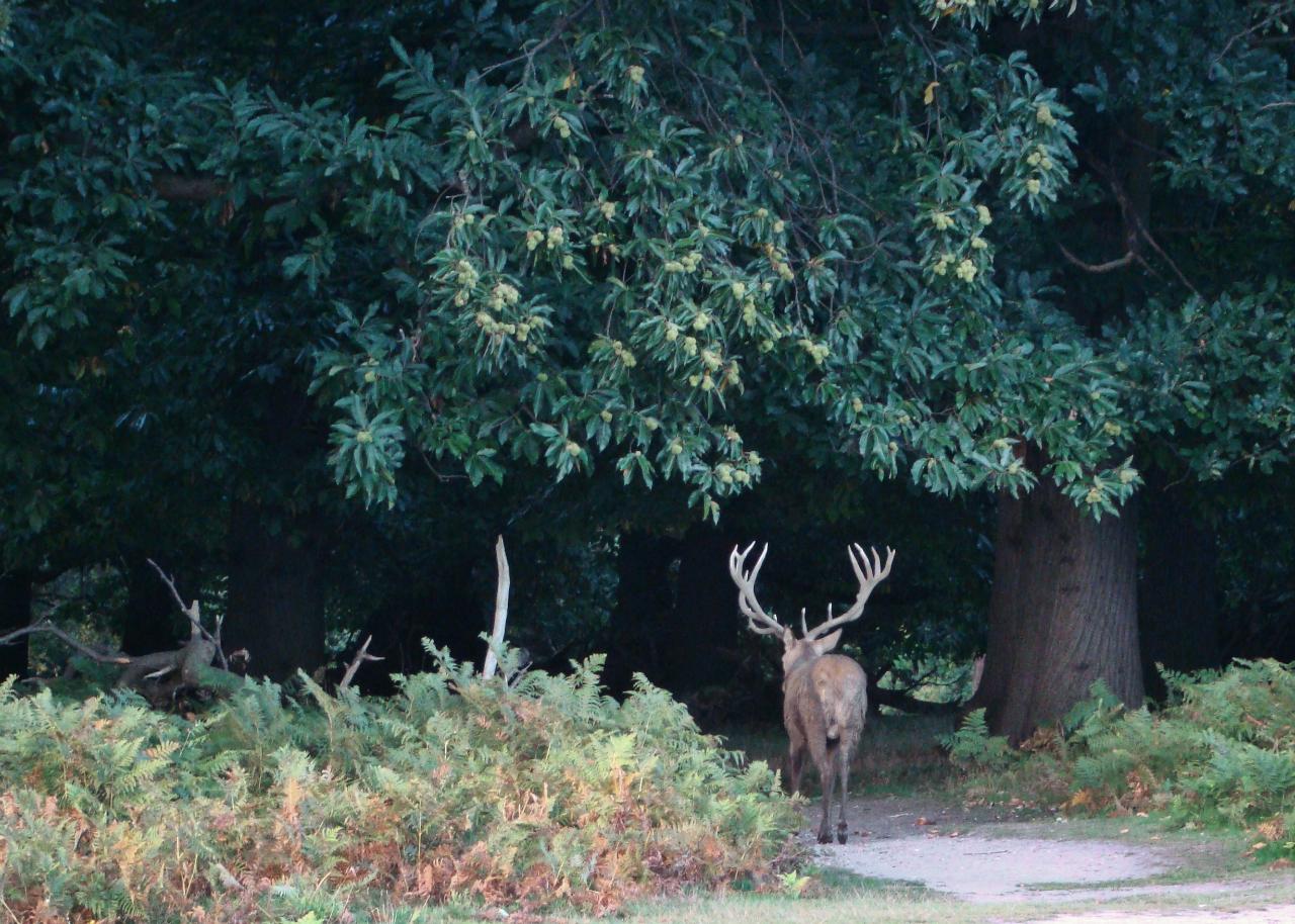 リッチモンド・パークにて撮影したアカシカの雄1頭|2015年9月29日