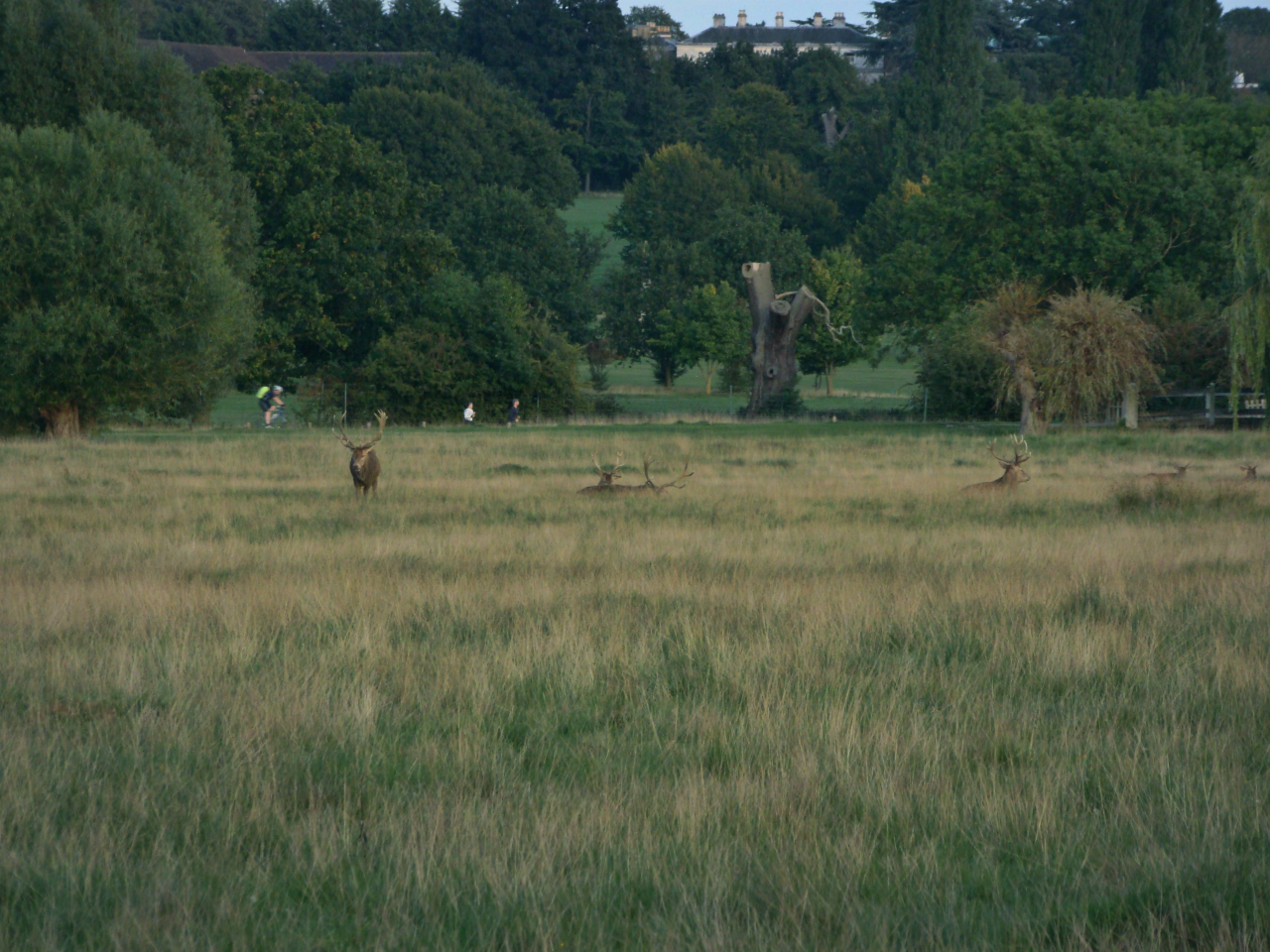 Red deer stags in Richmond Park, London, 29 September 2015