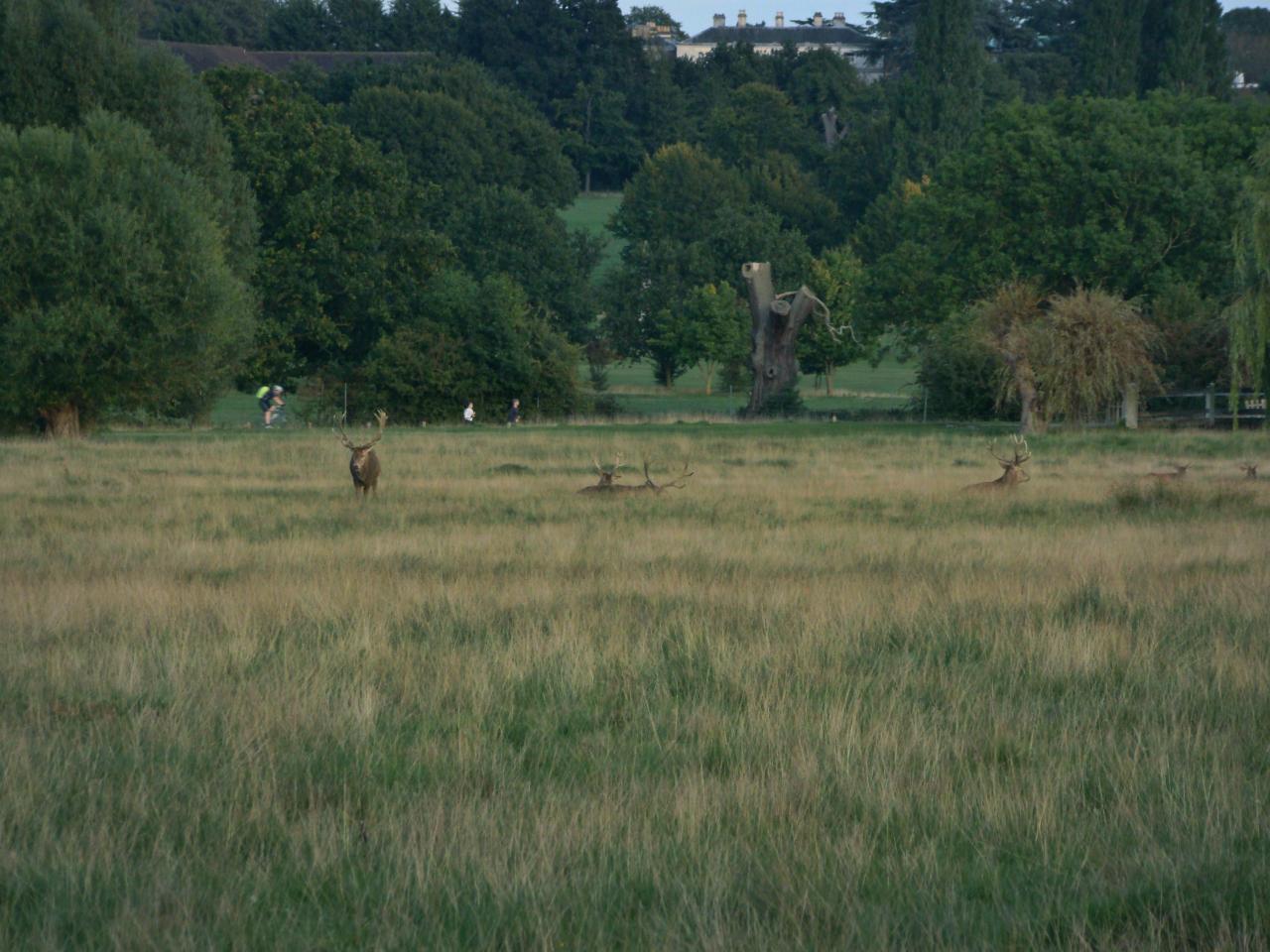 リッチモンド・パークにて撮影したアカシカの雄の群れ|2015年9月29日