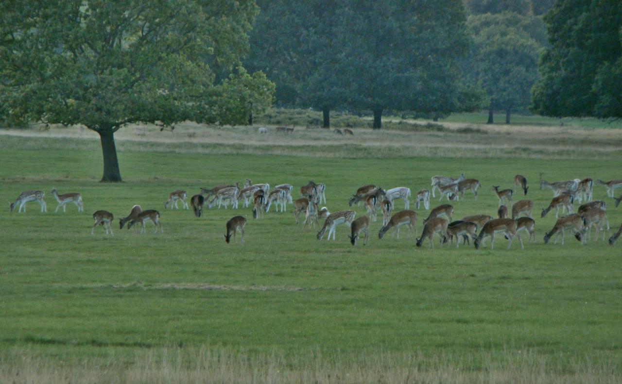 A herd of fallow deer in Richmond Park, London, 29 September 2015