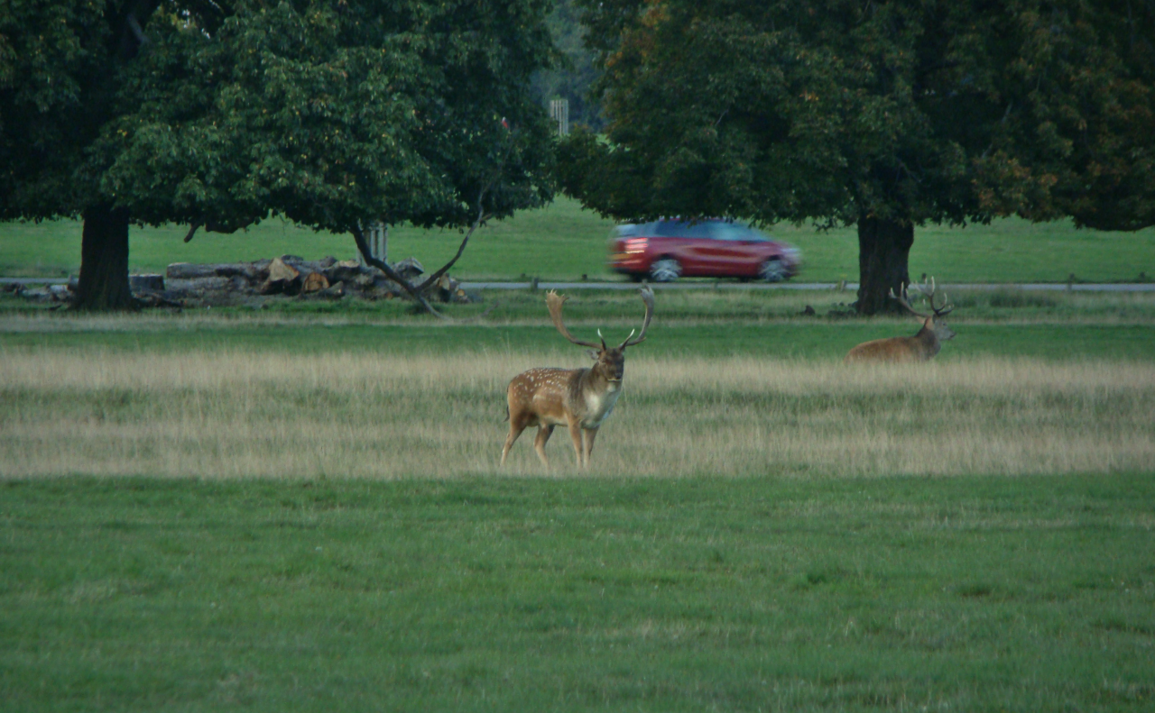 A fallow deer buck and a red deer stag in Richmond Park, London, 29 September 2015