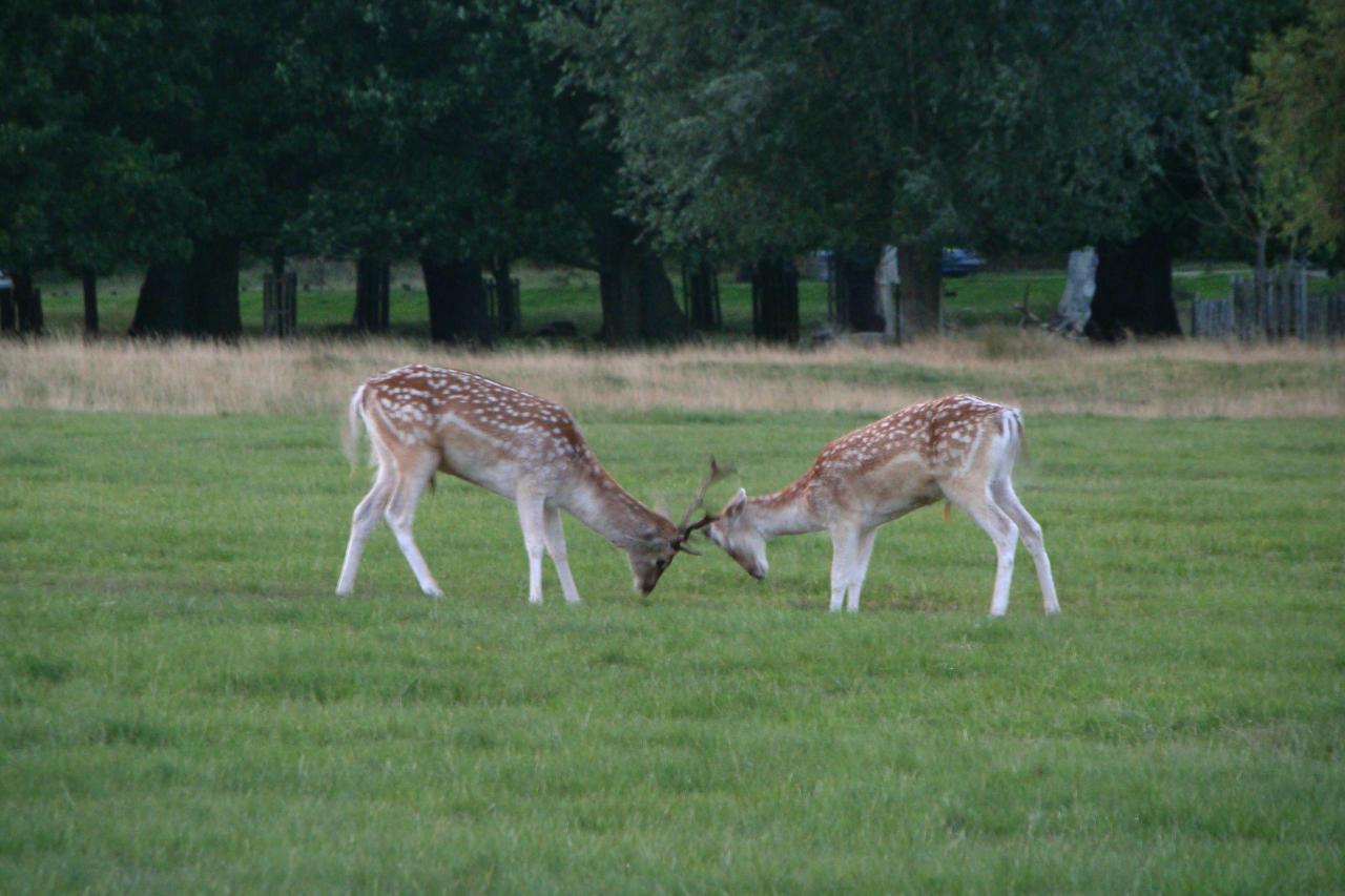Two fallow deer bucks rutting in Richmond Park, London, 29 September 2015