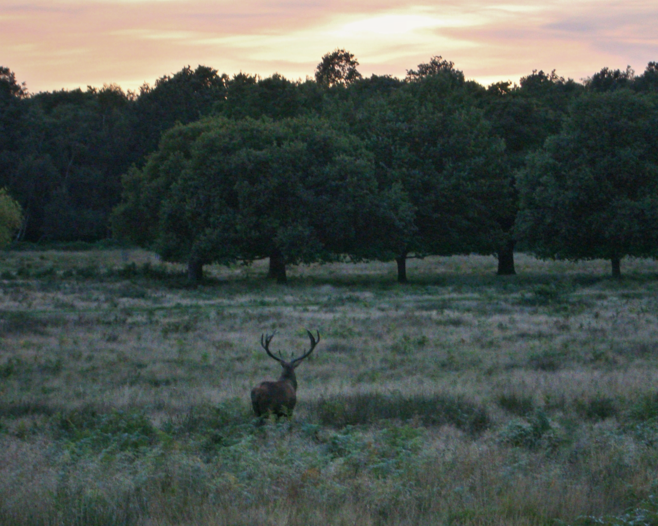 A red deer stag in Richmond Park, London, 29 September 2015