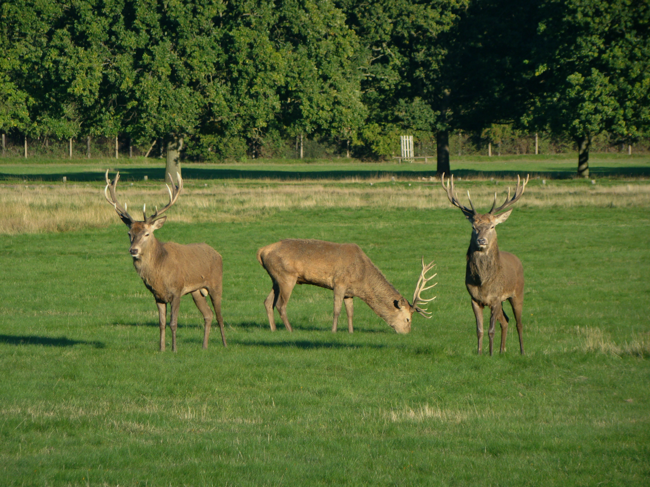 Three red deer stags in Richmond Park, London, 30 September 2015