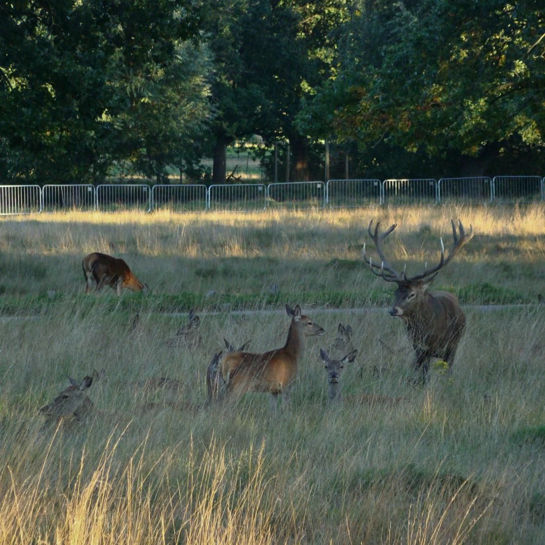 リッチモンド・パークにて撮影したアカシカの群れ|2015年9月30日