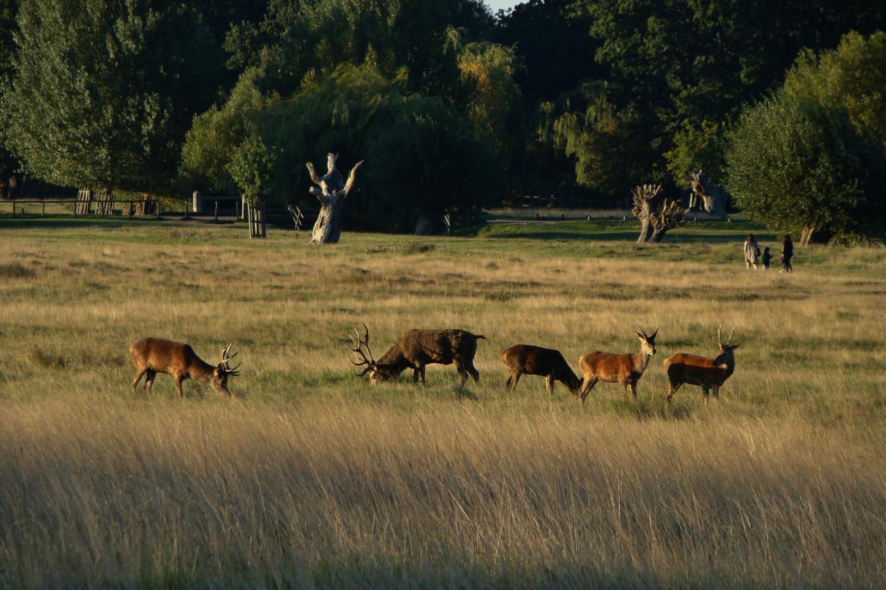 リッチモンド・パークにて撮影したアカシカの群れ(主に雄)|2015年9月30日