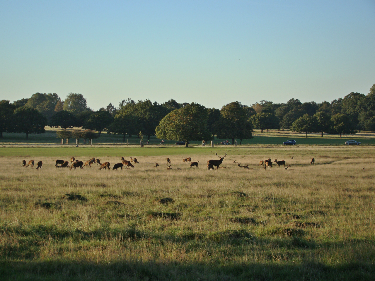 A red deer stag with a harem in Richmond Park, London, 30 September 2015