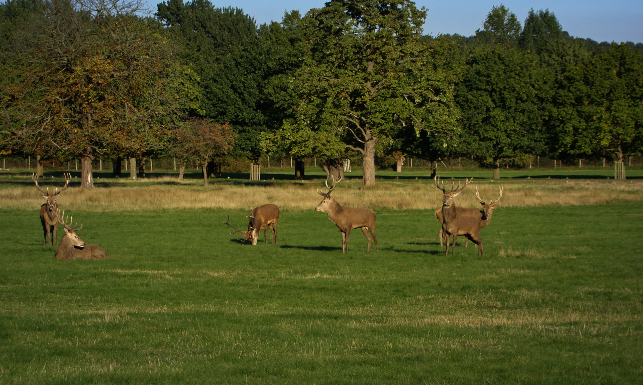 Six red deer stags in Richmond Park, London, 30 September 2015