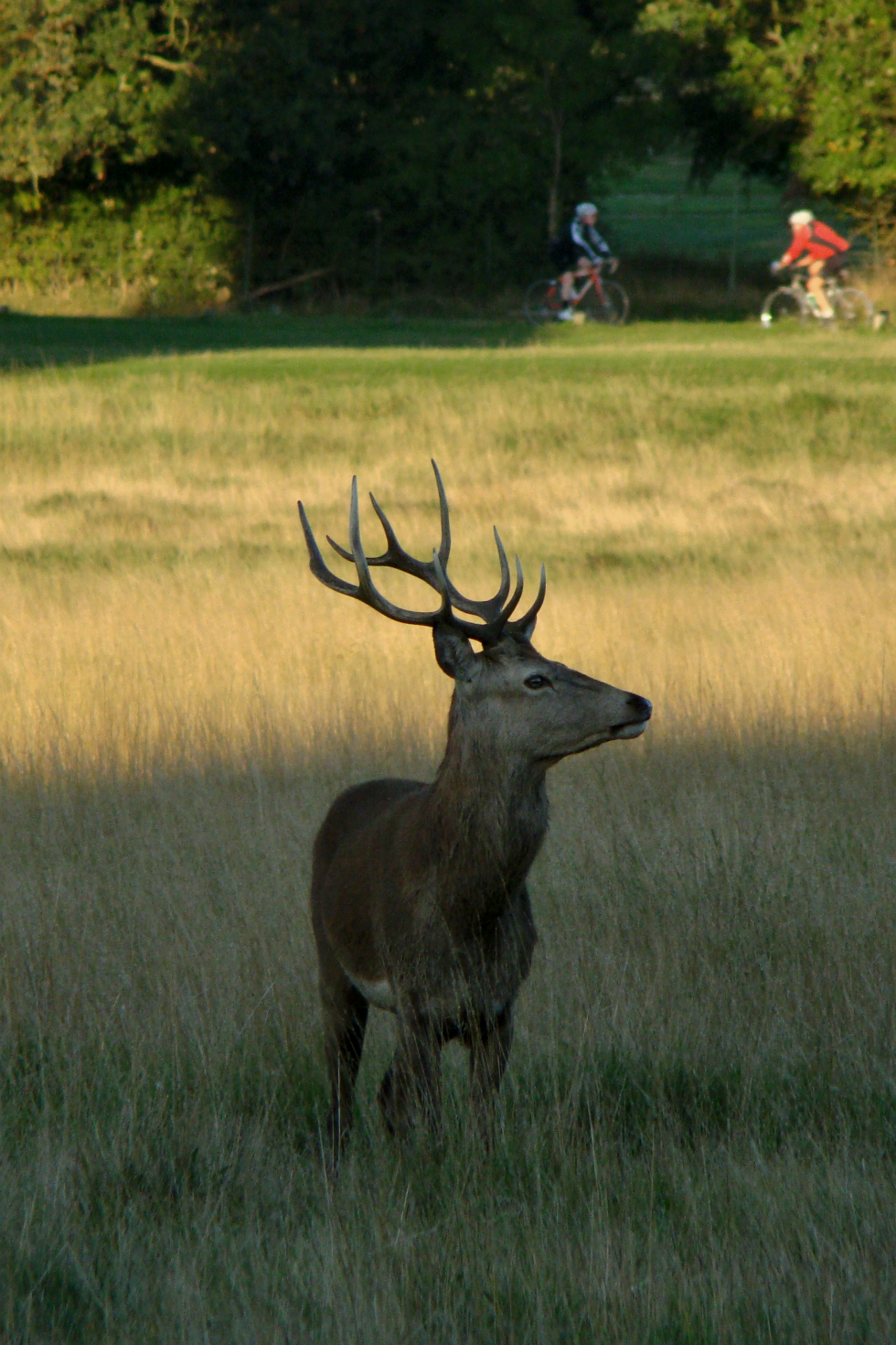 A red deer stag in Richmond Park, London, 30 September 2015