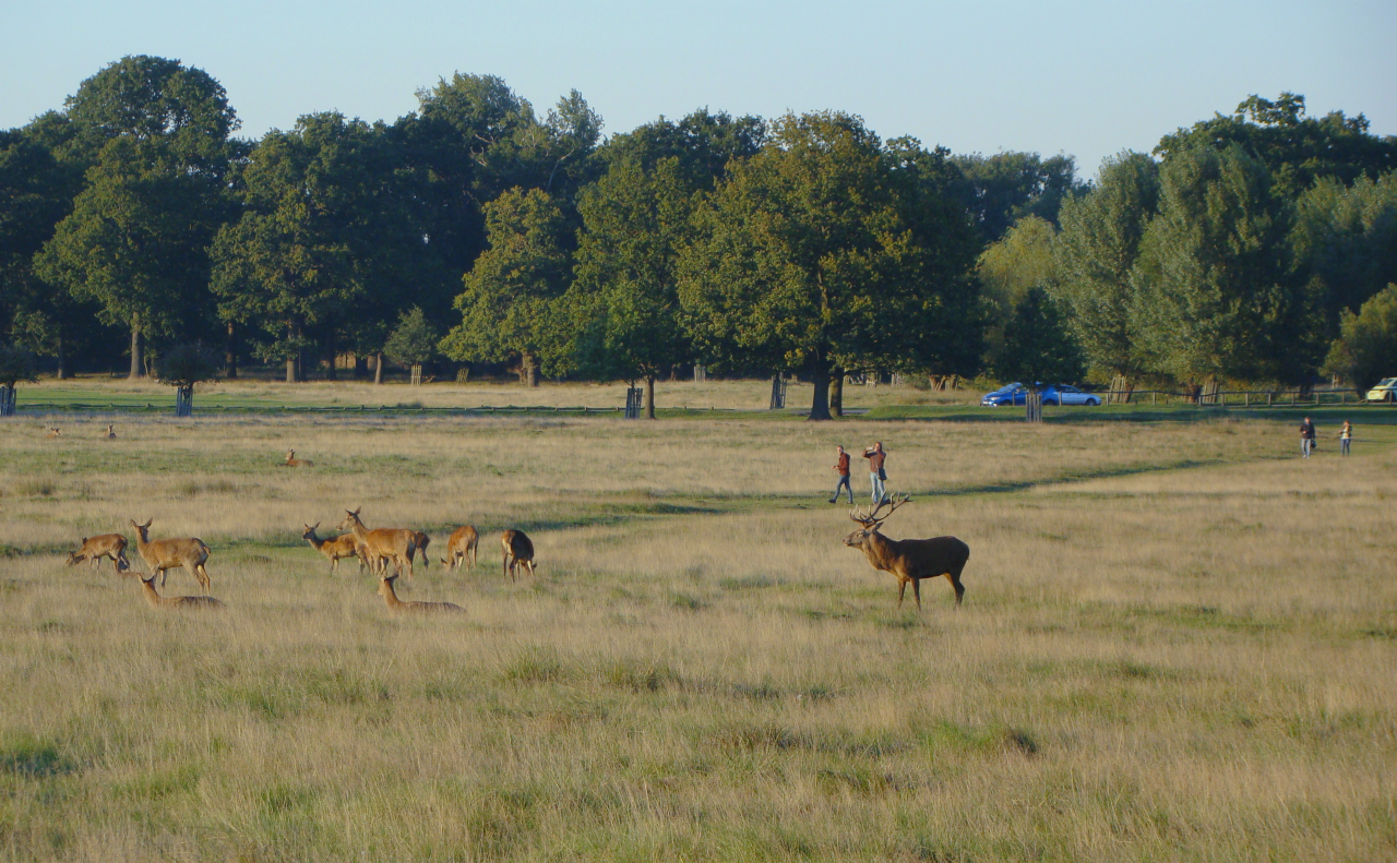 Red deer in Richmond Park, London, 30 September 2015