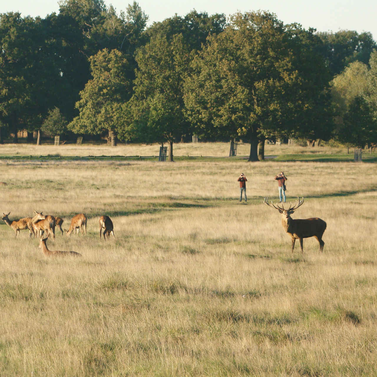 Red deer in Richmond Park, London, 30 September 2015