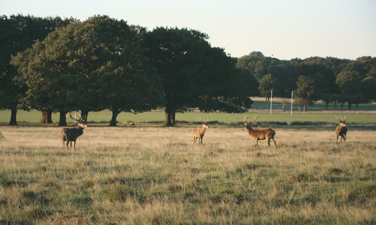 Four red deer stags in Richmond Park, London, 30 September 2015