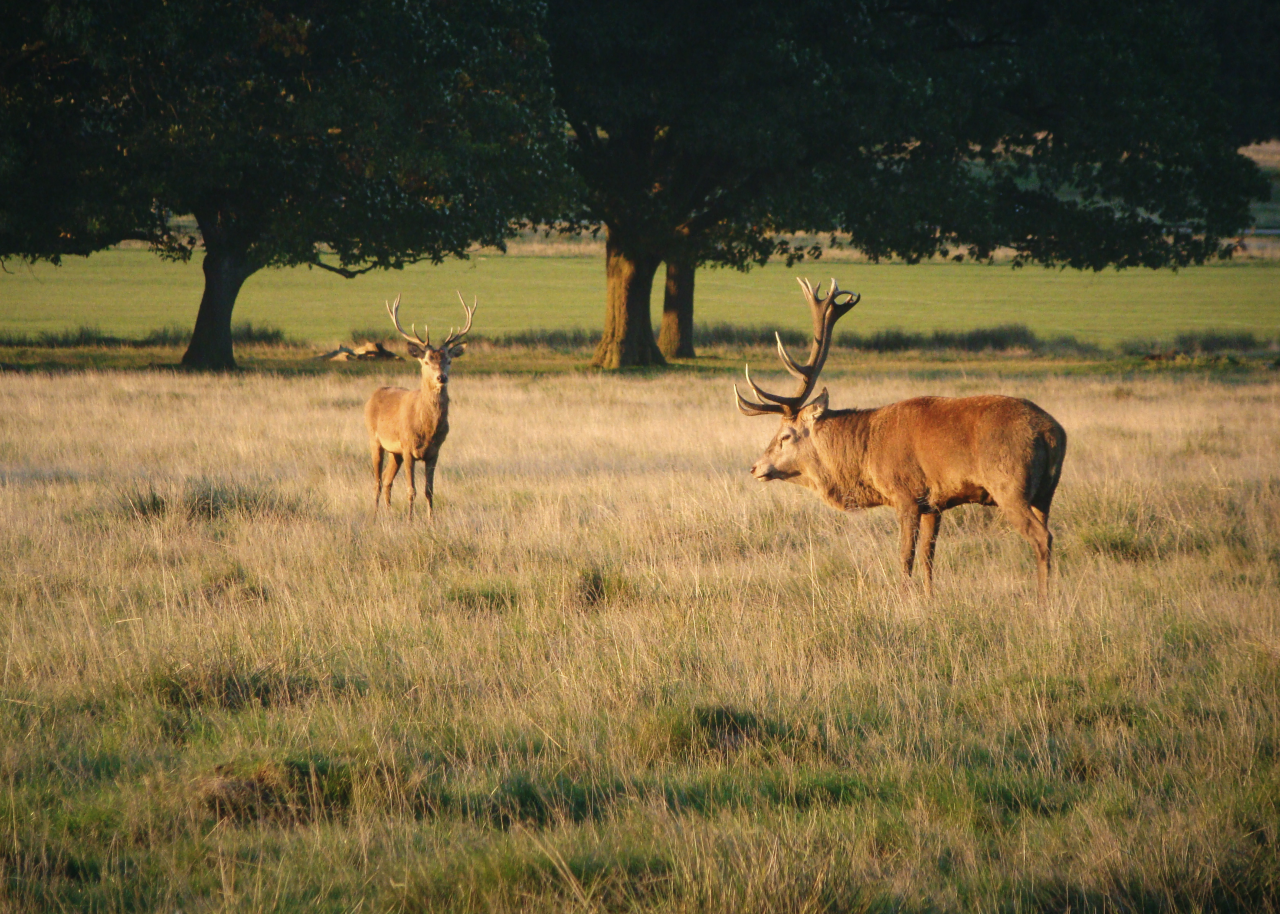Two red deer stags in Richmond Park, London, 30 September 2015