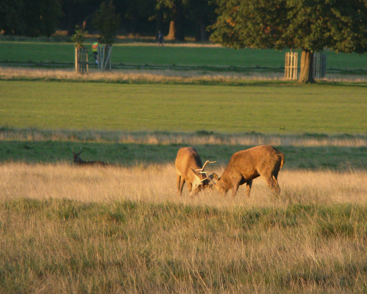 Red deer stags in Richmond Park, London, 30 September 2015