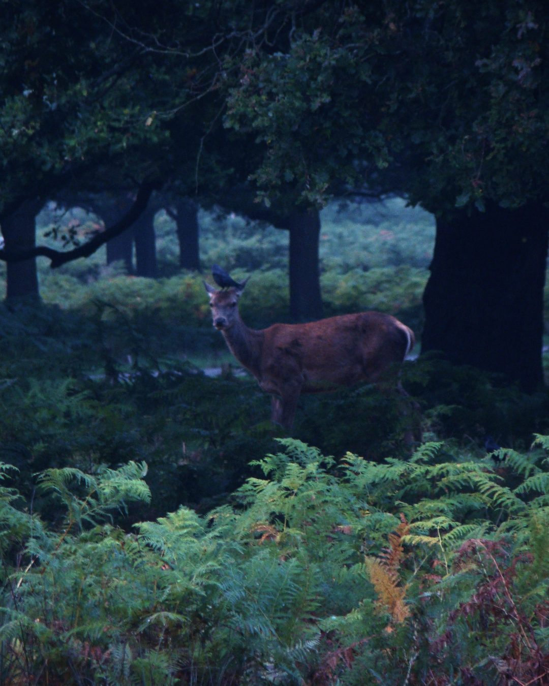A red deer hind in Richmond Park, London, 3 October 2015