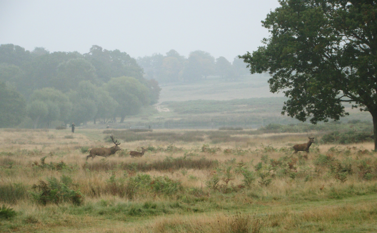 Red deer in Richmond Park, London, 3 October 2015