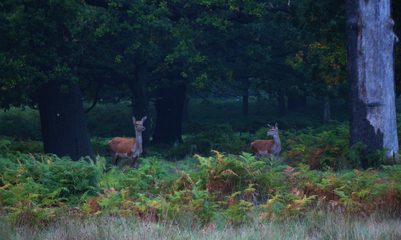 Two red deer hinds in Richmond Park, London, 3 October 2015