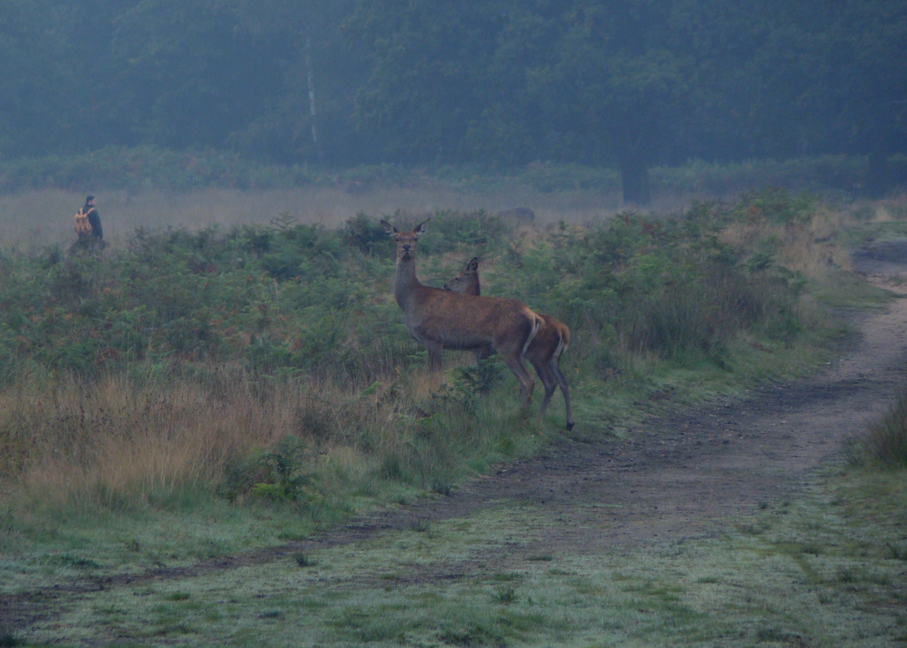 Red deer hinds in Richmond Park, London, 3 October 2015