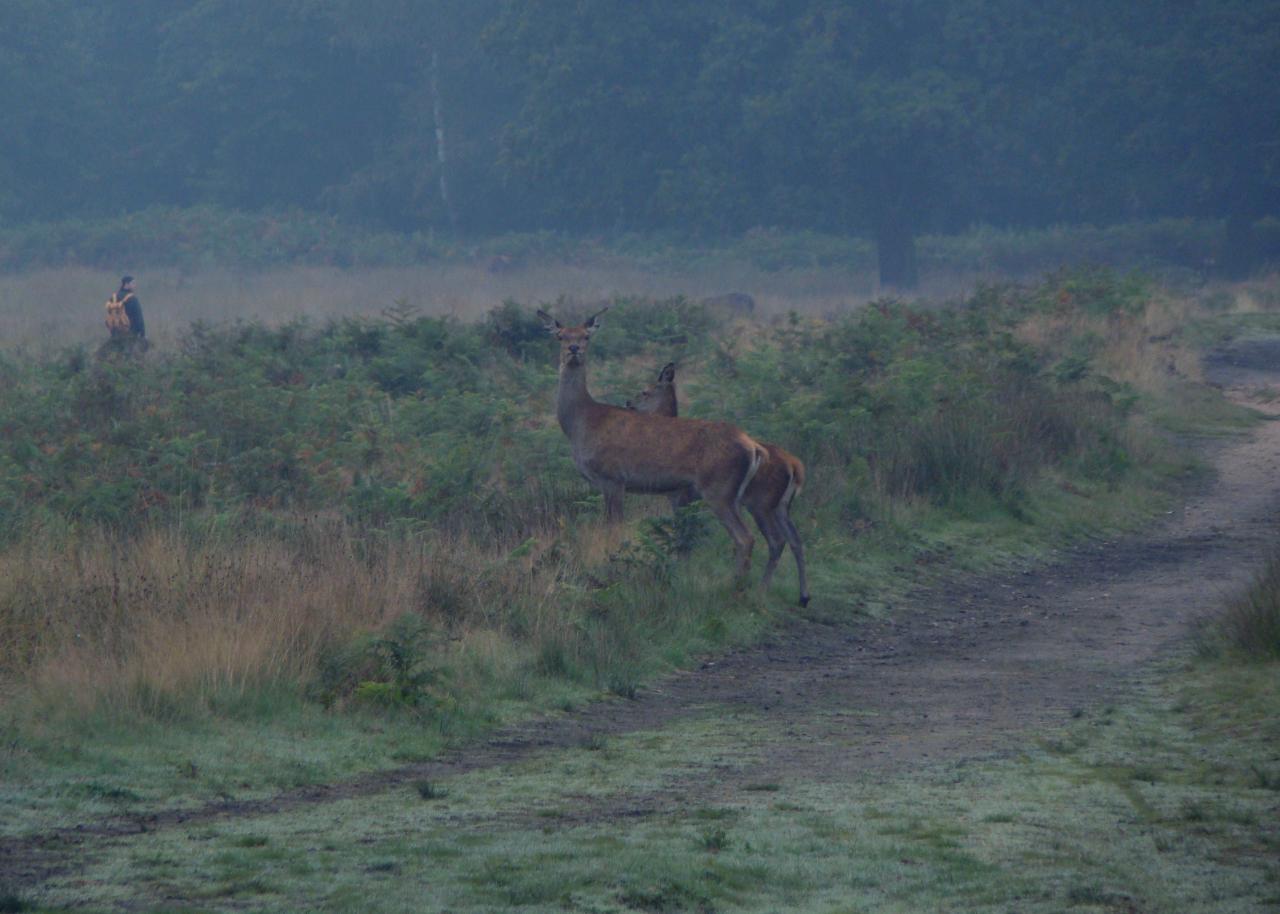 朝霧が立ち籠むロンドンのリッチモンド・パークにて撮影したアカシカ雌2頭|2015年10月3日