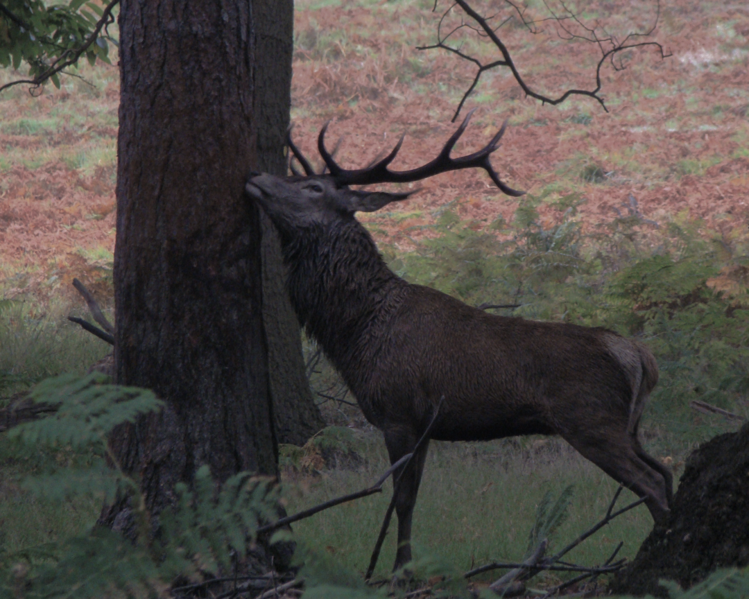 A red deer stag in Richmond Park, London, 3 October 2015