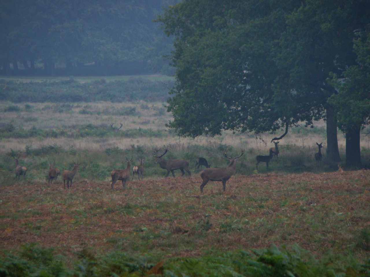 Red deer in Richmond Park, London, 3 October 2015