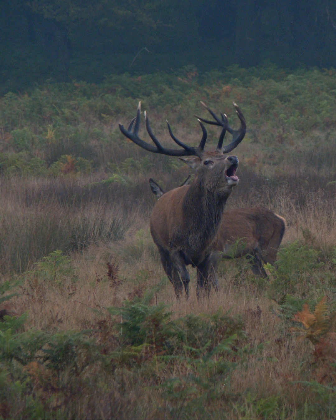A red deer stag and a red deer hind in Richmond Park, London, 3 October 2015