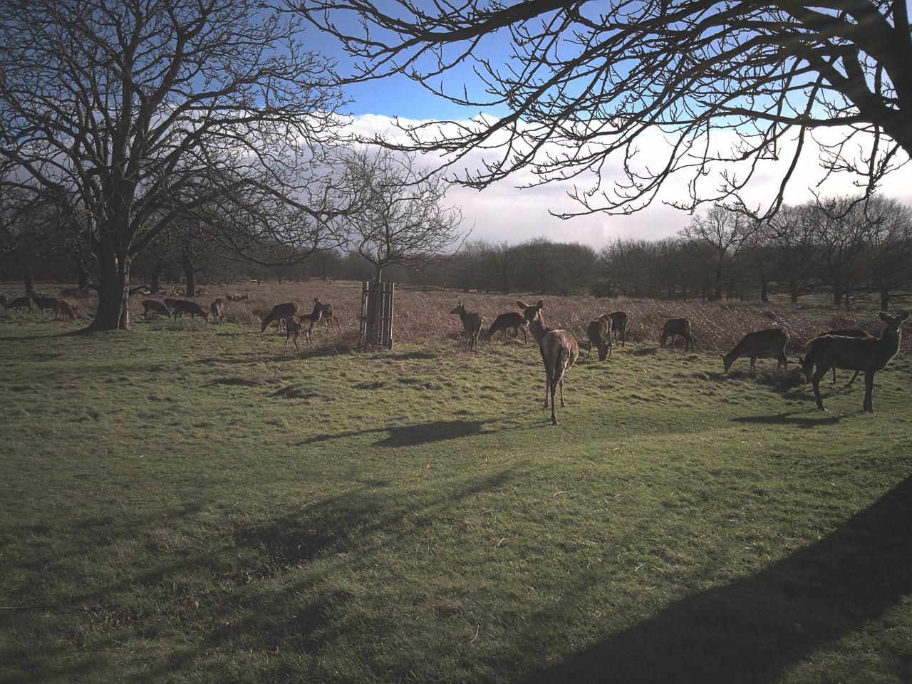 アカシカの雄の群れ|ロンドンのリッチモンド・パークにて|2016年2月2日撮影