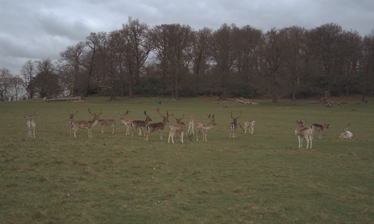 Fallow deer bucks, Richmond Park, London, 20 March 2016