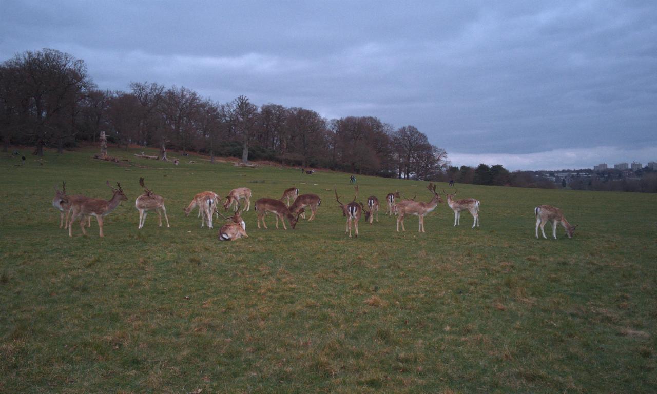 Fallow deer bucks, Richmond Park, London, 20 March 2016