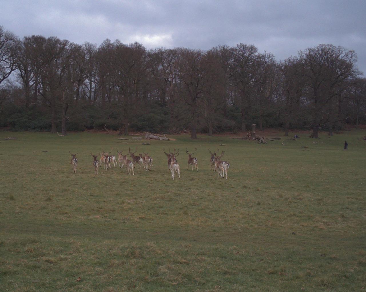 ダマジカの雄の群れ|ロンドンのリッチモンド・パークにて|2016年3月20日撮影