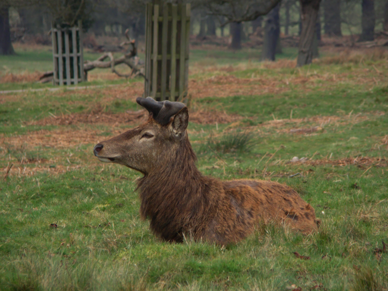 A red deer stag in winter coat with new horns, Richmond Park, London, 3 April 2016