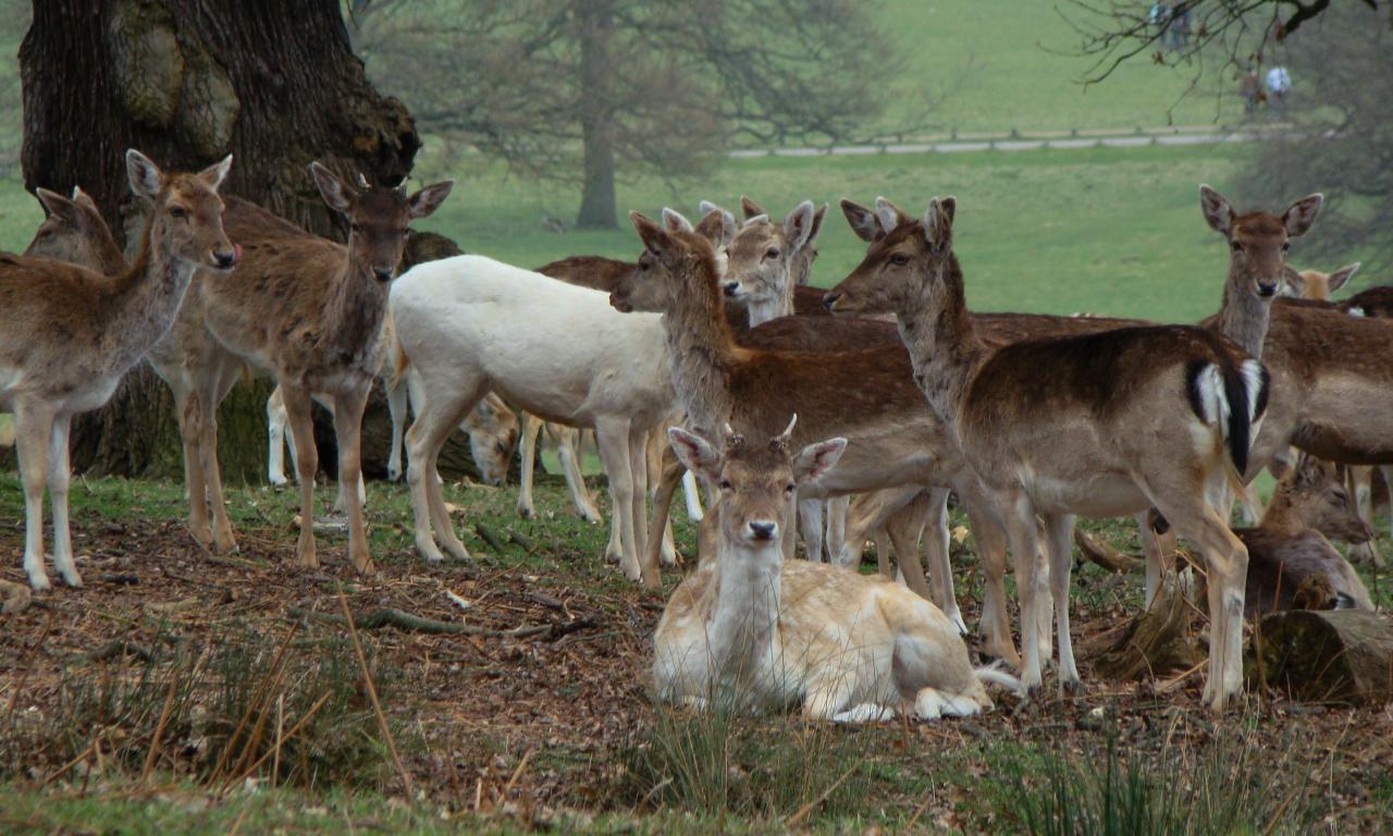 Fallow deer, Richmond Park, London, 3 April 2016