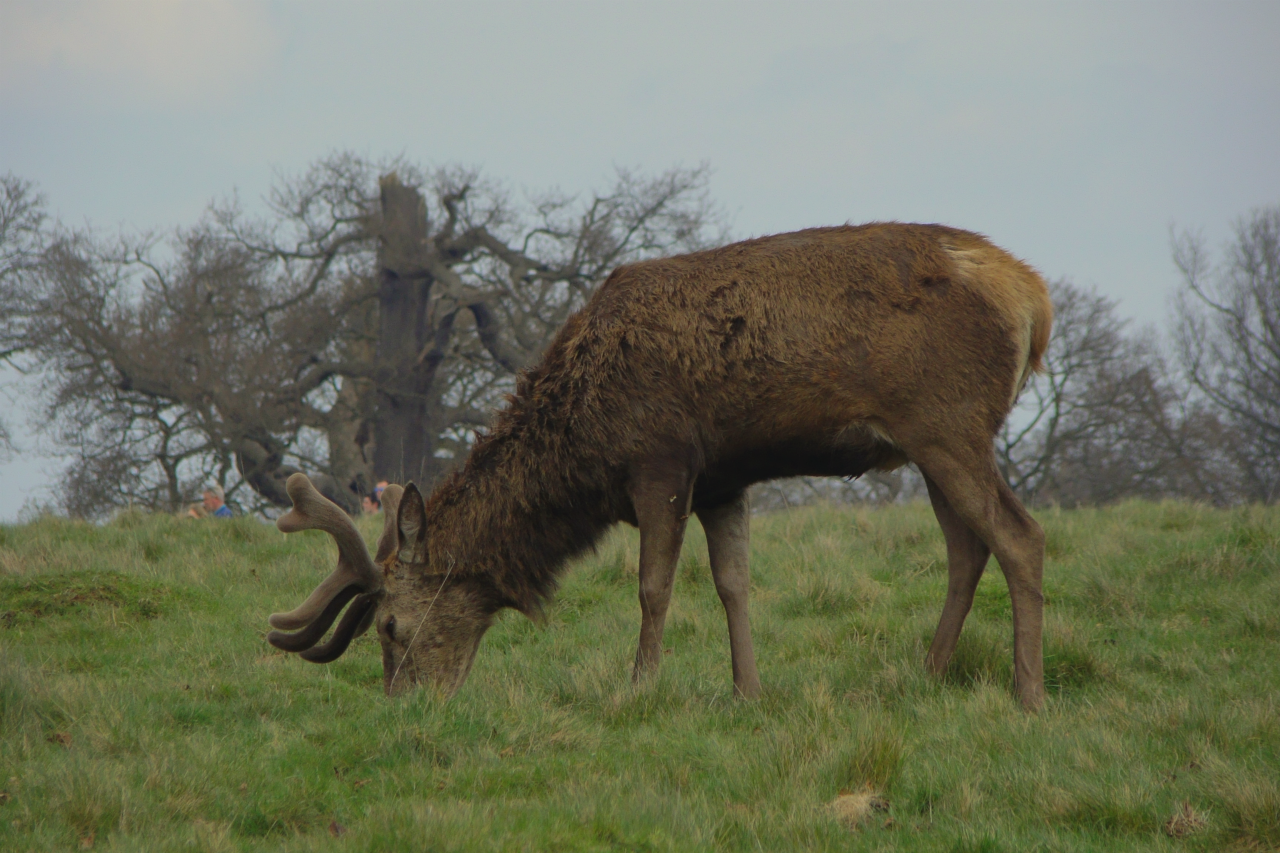 A red deer stag, eating, Richmond Park, London, 3 April 2016