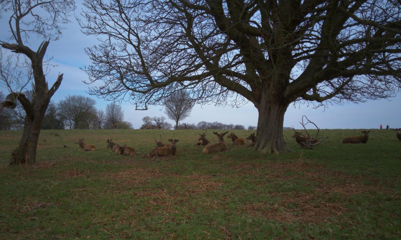 アカシカ雄の群れ|ロンドンのリッチモンド・パークにて|2016年4月3日撮影
