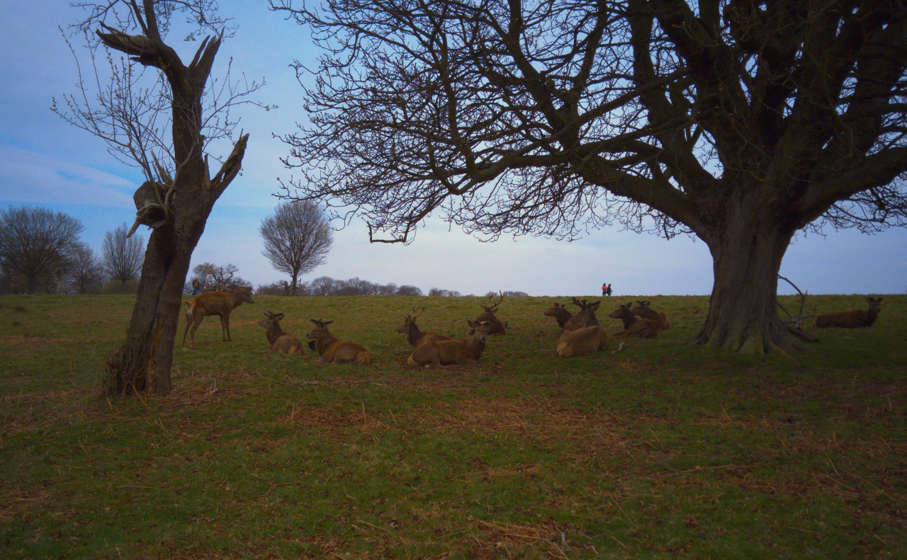 Red deer stags, Richmond Park, London, 3 April 2016