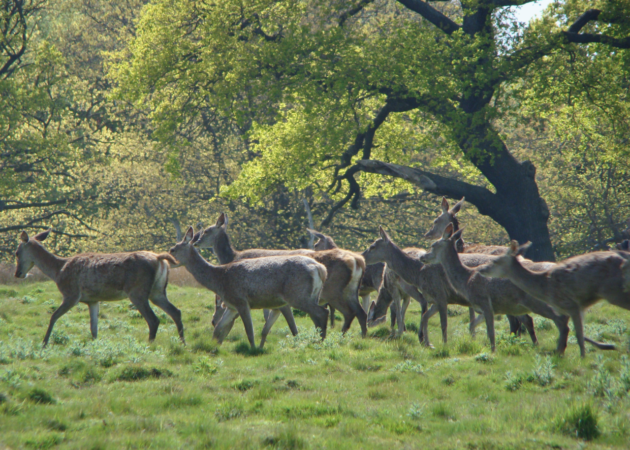 Red deer hinds, Richmond Park, London, 4 May 2016