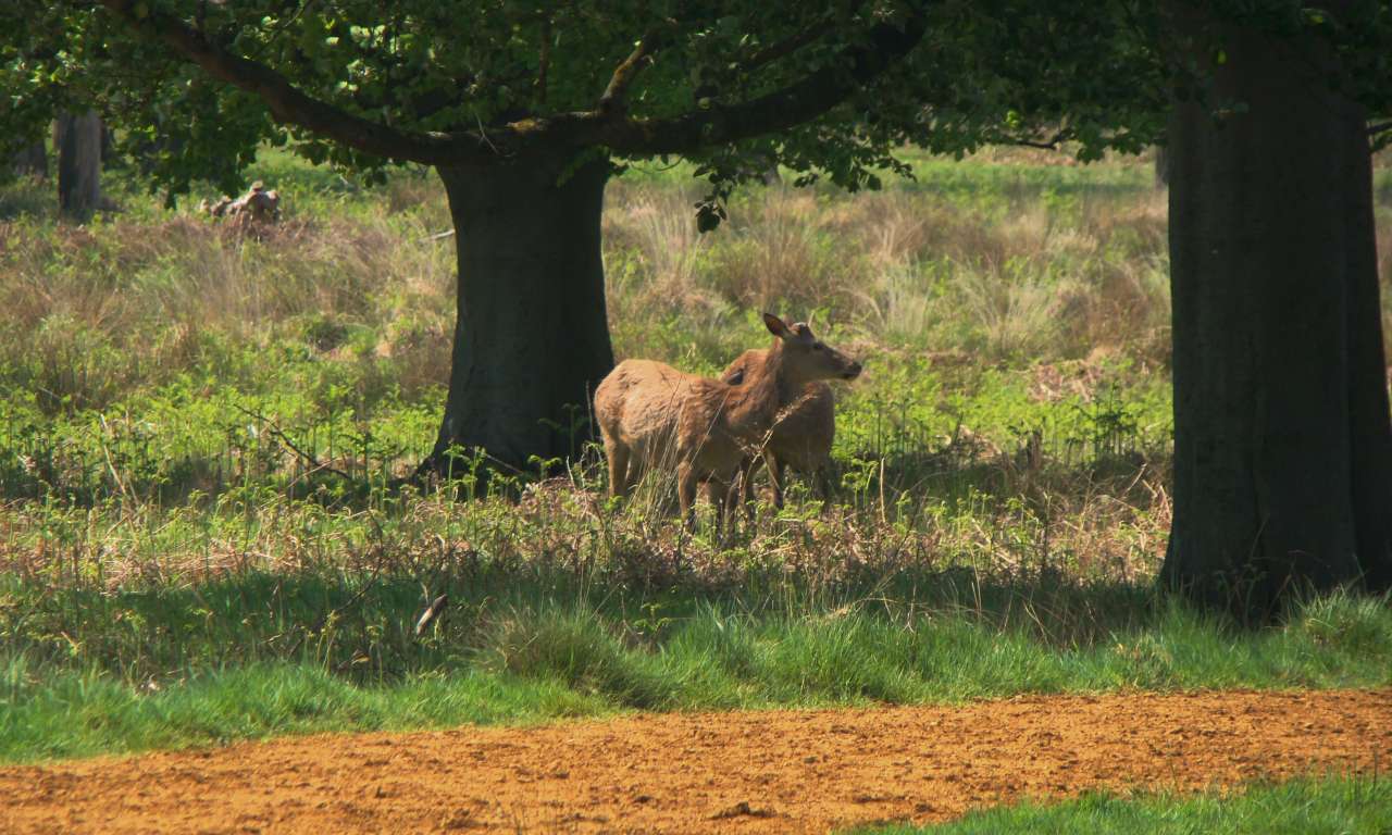 Red deer, Richmond Park, London, 13 May 2016