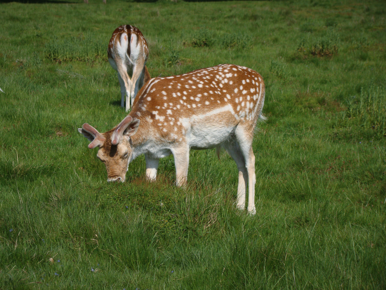 Fallow deer, Richmond Park, London, 13 May 2016