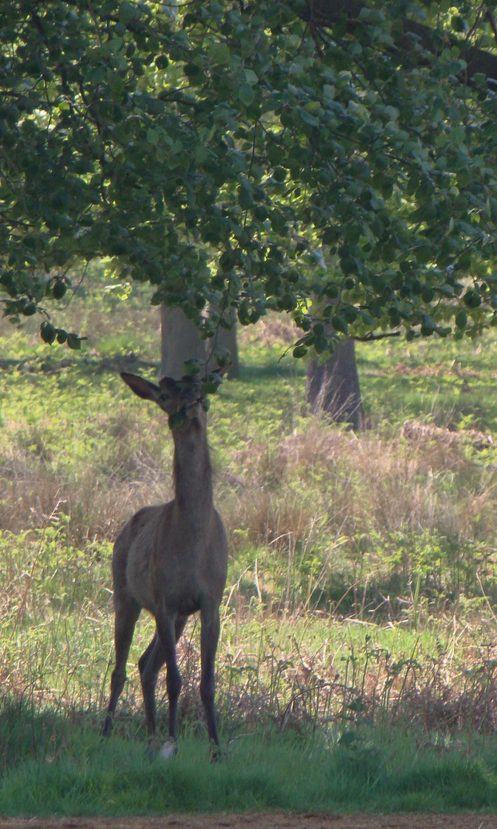 Red deer, Richmond Park, London, 13 May 2016