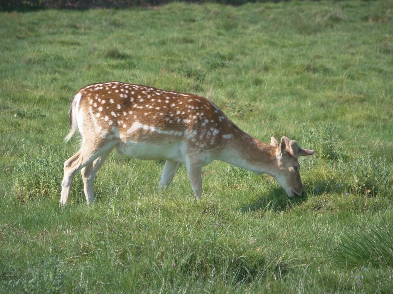 Fallow deer, Richmond Park, London, 13 May 2016