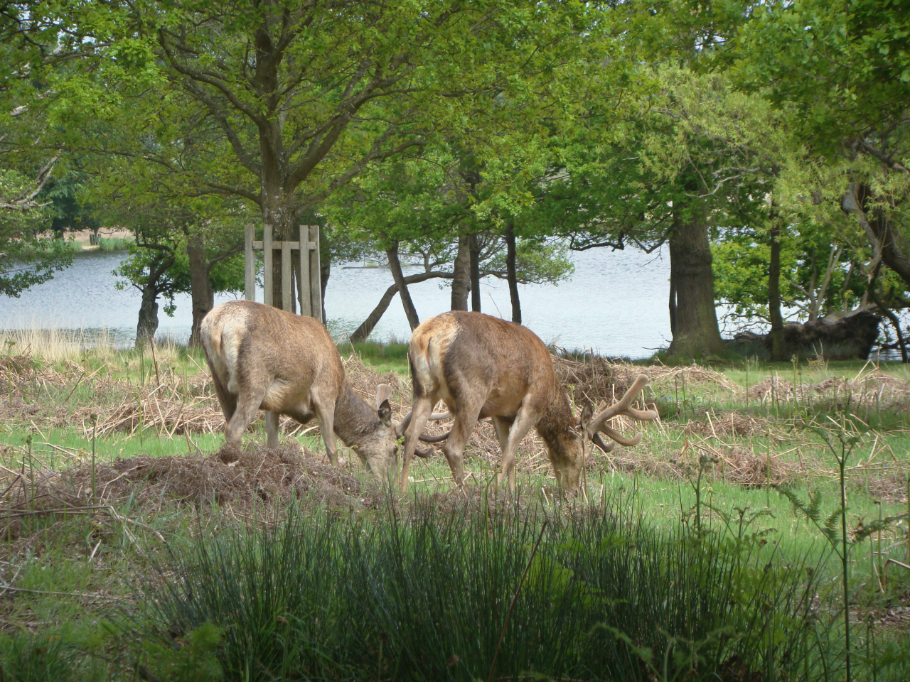 Red deer stags, Richmond Park, London, 20 May 2016