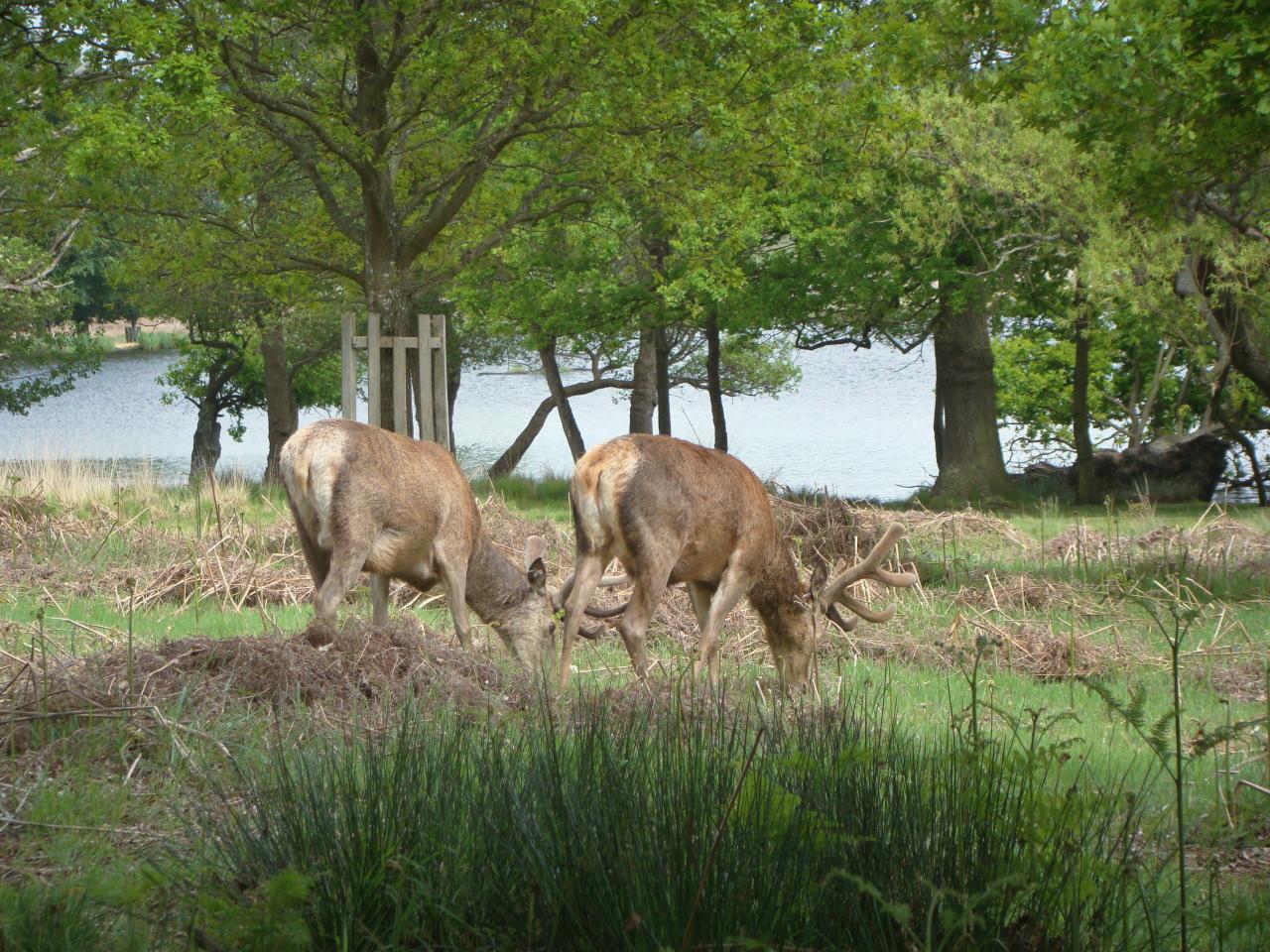 草を食べているアカシカの雄2頭|ロンドンのリッチモンド・パークにて|2016年5月20日撮影