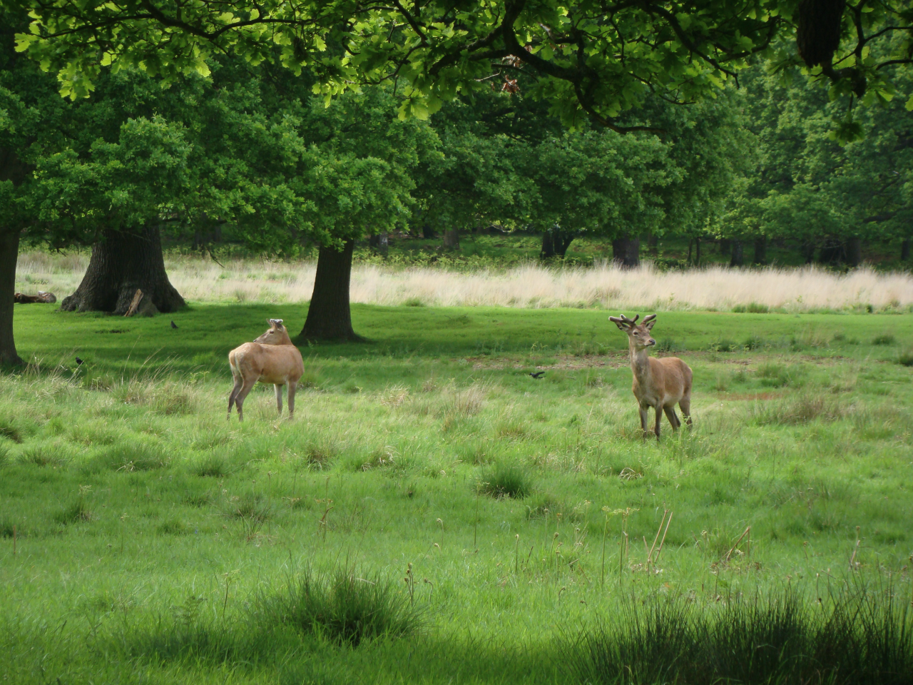 Two red deer stags, Richmond Park, London, 20 May 2016