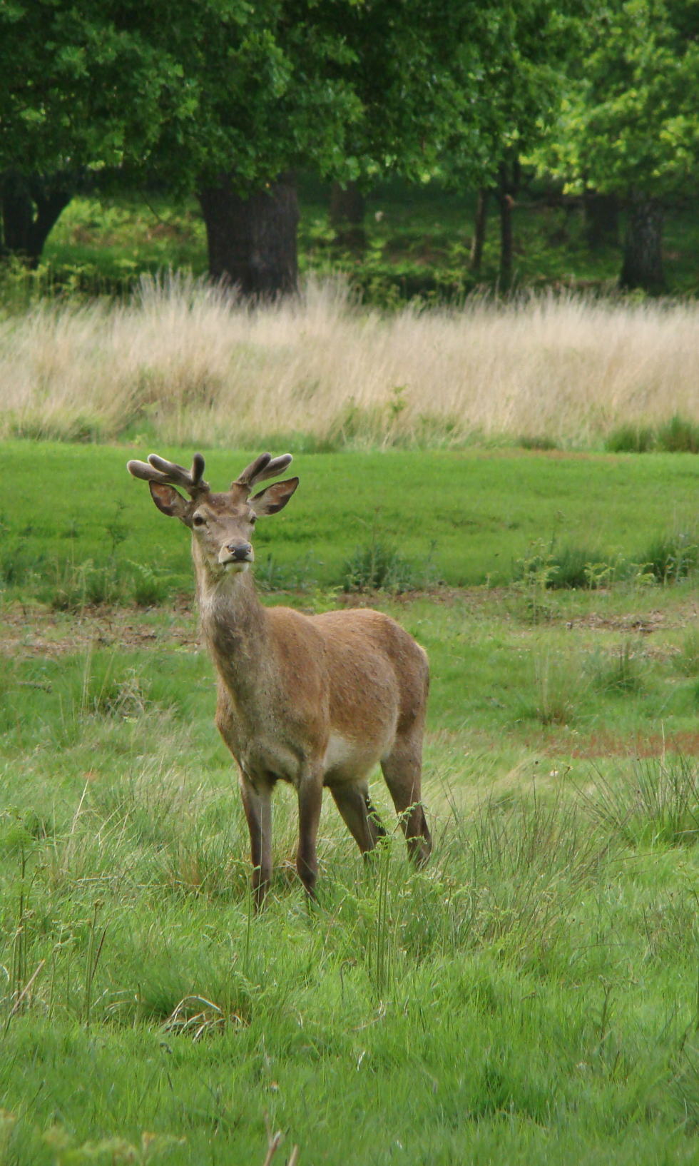 A red deer stag, Richmond Park, London, 20 May 2016