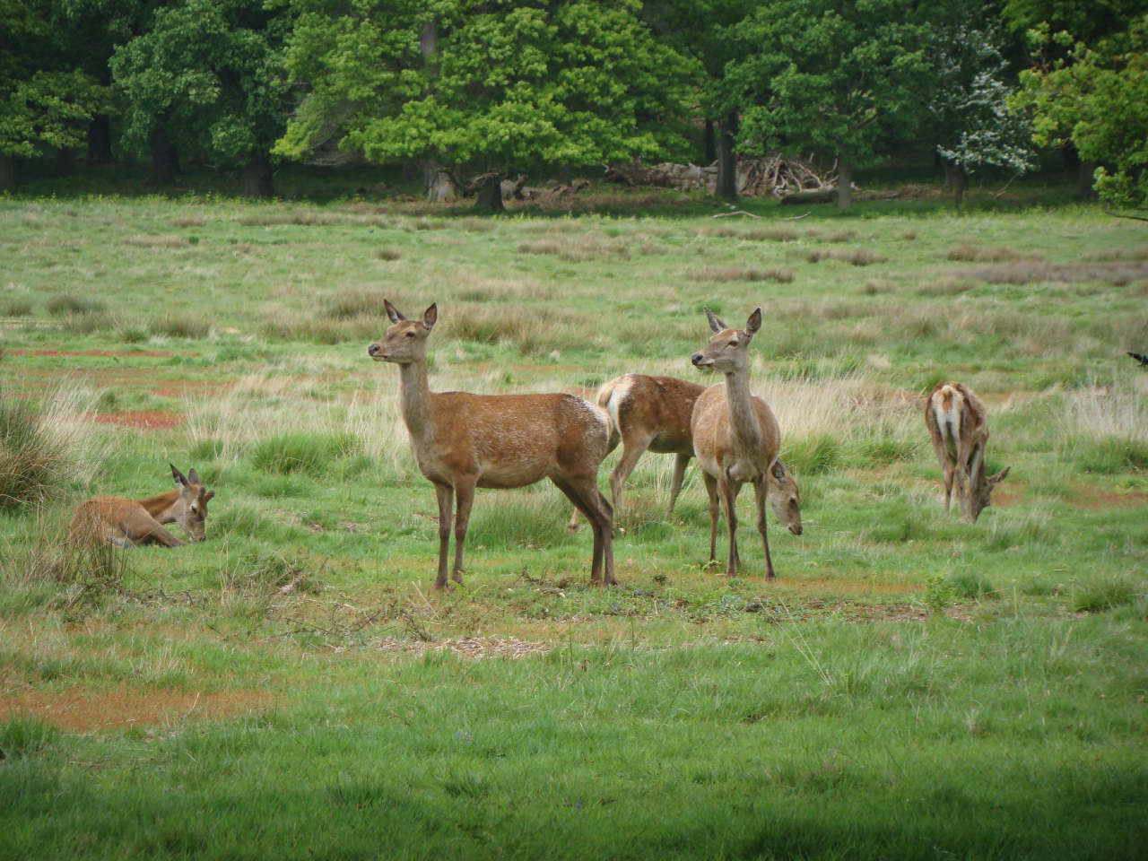 Red deer hinds, Richmond Park, London, 20 May 2016
