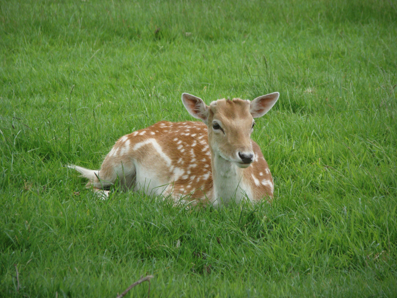 Fallow deer, Richmond Park, London, 20 May 2016