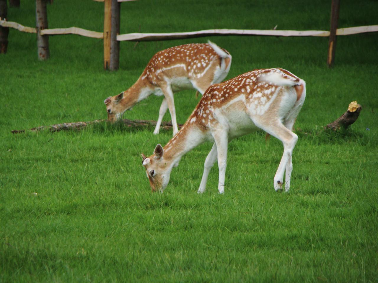 Fallow deer, Richmond Park, London, 20 May 2016