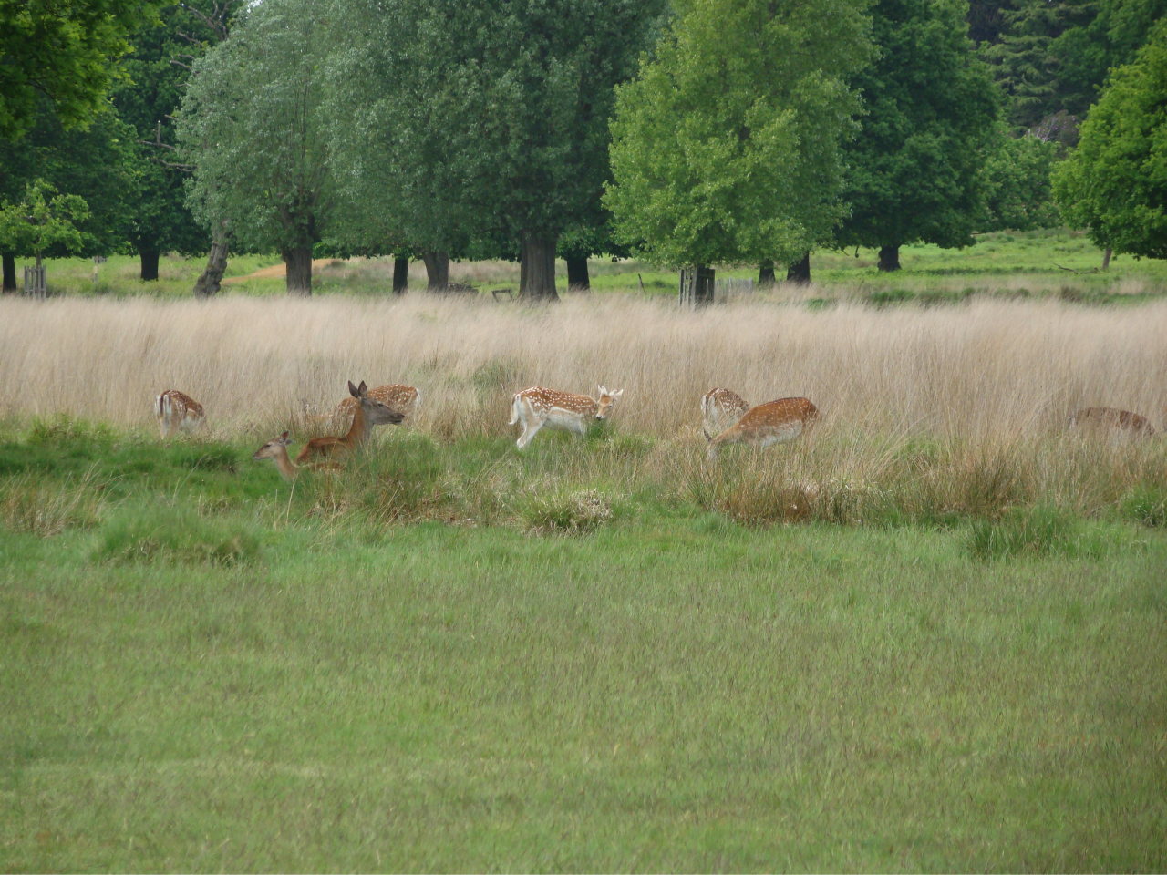 Deer In Richmond Park  20 May 2016  5  Photographs