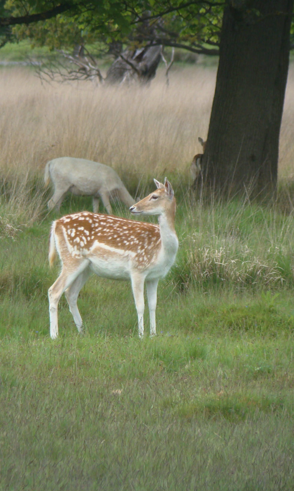 Fallow deer does, Richmond Park, London, 20 May 2016