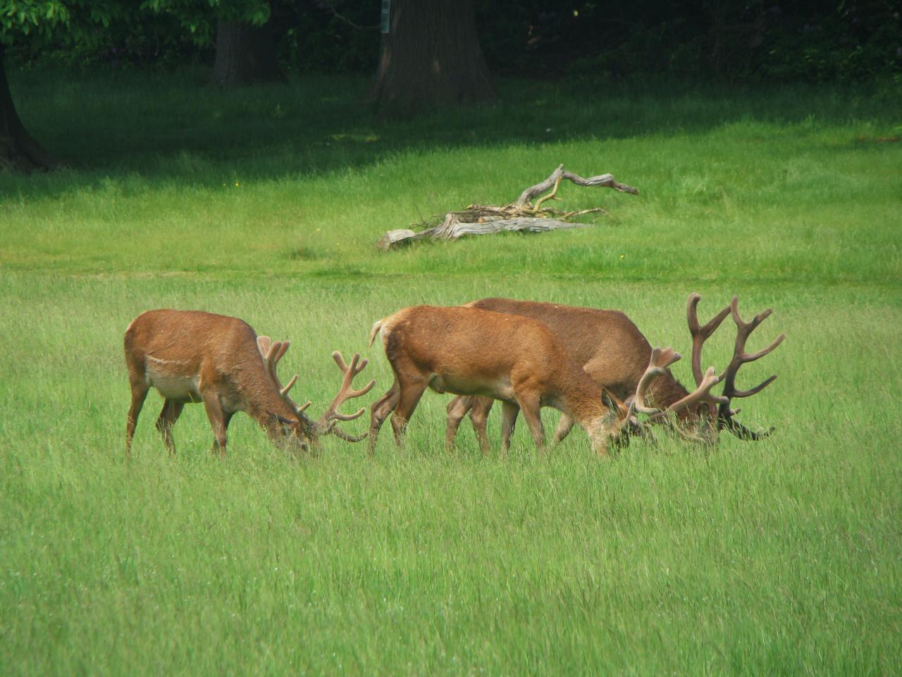 Three red deer stags